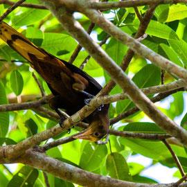 Russet-backed Oropendola (Psarocolius angustifrons) -- Peru / Centro De Rescate Taricaya