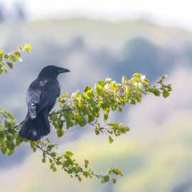 Aaskrähe  |  Carrion Crow  (Corvus corone)  -- Kaiserstuhl / Germany