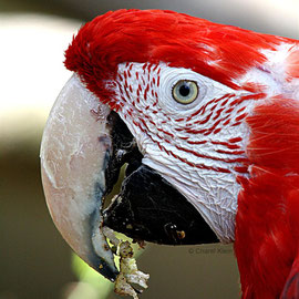 Grünflügelara  |  Green-winged Macaw (Ara chloropterus)-- Amniville/zoo
