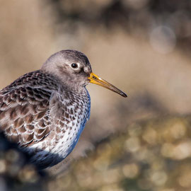 Meerstrandläufer | Purple Sandpiper (Calidris maritima) -- Zealand / Nederland