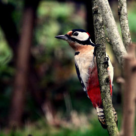 Buntspecht |  Great Spotted Woodpecker (Dendrocopos major)