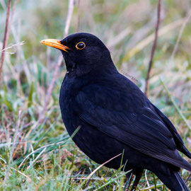 Amsel | Common Blackbird    (Turdus merula)