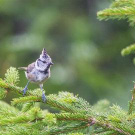 Haubenmeise  |   European crested tit   (Lophophanes cristatus) -- Lac Blanc / Vosges / France