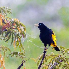 Gelbbürzelkassike  |  Yellow-rumped Cacique (Cacicus cela) -- Peru / Centro De Rescate Taricaya