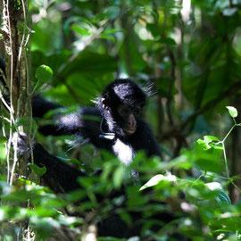 Schwarzgesichtklammeraffe  |  Peruvian spider monkey   (Ateles chamek)  -- Peru / Centro De Rescate Taricaya