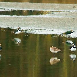 Kiebitz | Northern Lapwing    (Vanellus vanellus) -- & -- Steppenkiebitz  | Sociable Lapwing   (Vanellus gregarius)