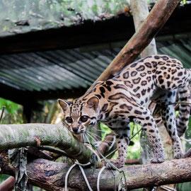 Langschwanzkatze  |  Margay (Leopardus wiedii) -- Peru / Centro De Rescate Taricaya