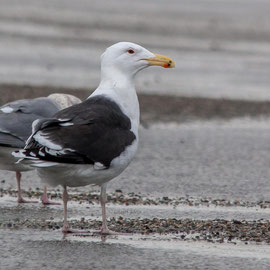 Mantelmöwe | Great black-backed gull (Larus marinus)