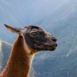 Lama |  llama  (Lama glama) -- Peru / Centro De Rescate Taricaya