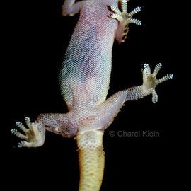 Europäische Halbfinger / Mediterranean house gecko (Hemidactylus turcicus)