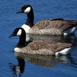 Kanadagans / Canada Goose           (Branta canadensis)