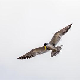 Large-billed Tern (Phaetusa simplex) -- Peru / Centro De Rescate Taricaya