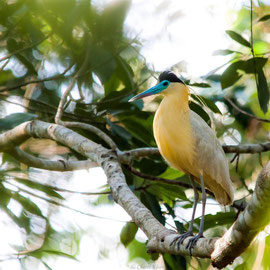 Kappenreiher   |  Capped Heron   (Pilherodius pileatus)   -- Peru / Centro De Rescate Taricaya