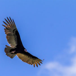 Truthahngeier   |  Turkey Vulture   (Cathartes aura) -- Peru / Centro De Rescate Taricaya