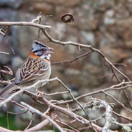 Morgenammer  |  Rufous-collared Sparrow (Zonotrichia capensis)  -- Peru / Centro De Rescate Taricaya
