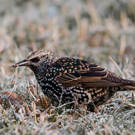 Star |  Common Starling     (Sturnus vulgaris)