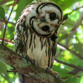 Schreieule  |  Striped Owl (Pseudoscops clamator) -- Peru / Centro De Rescate Taricaya