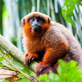 Dusky titi monkey (Callicebus aureipalatii)   -- Peru / Centro De Rescate Taricaya