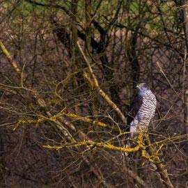 Habicht  |  Northern Goshawk  (Accipiter gentilis)
