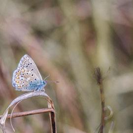 Himmelblaue Bläuling  |   Adonis Blue (Polyommatus bellargus) -- Kaiserstuhl  / Germany