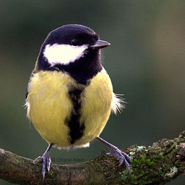 Kohlmeise | Great Tit (Parus major)