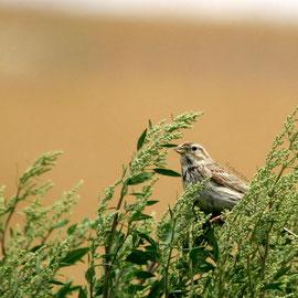 Grauammer | Corn Bunting        (Emberiza calandra)