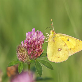 Goldene Acht |  Pale Clouded Yellow (Colias hyale)