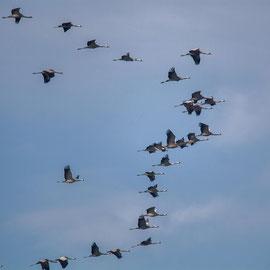 Kranich | Common Crane   (Grus grus)