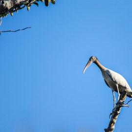 Waldstorch  |  Wood Stork   (Mycteria americana) -- Peru / Centro De Rescate Taricaya