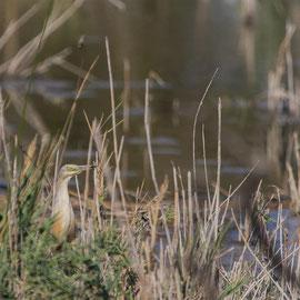 Rallenreiher  |  Squacco Heron      (Ardeola ralloides) -- France / Camargue