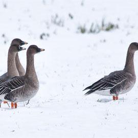 Graugans | Greylag Goose          (Anser anser)