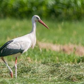 Weißstorch / White Stork  (Ciconia ciconia) -- Alsace / France