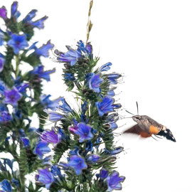 Taubenschwänzchen   |  hummingbird hawk-moth  (Macroglossum stellatarum)  --  Niedermorschwihr  / France