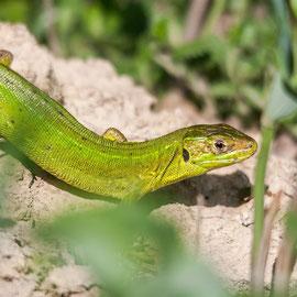 Smaragdeidechse  |  Western Green Lizard   (Lacerta bilineata)  -- Badberg / Germany
