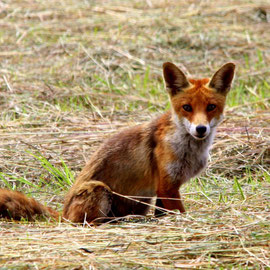 Rotfuchs / Red fox     (Vulpes vulpes)