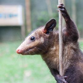 Manicou  |  common opossum (Didelphis marsupialis)  -- Peru / Centro De Rescate Taricaya