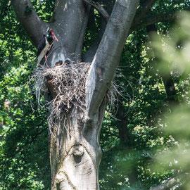 Schwarzstroch  |  Black stork    (Ciconia nigra)
