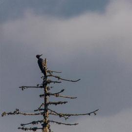 Schwarzspecht  |  Black Woodpecker (Dryocopus martius)  -- Belchen / Germany