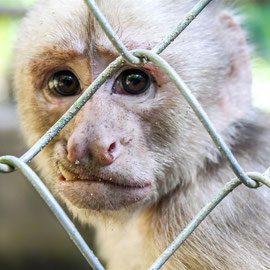 Weißstirnkapuziner  |  White-fronted capuchin   (Cebus albifrons) -- Peru / Centro De Rescate Taricaya