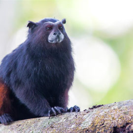 Braunrückentamarin  |  Brown-mantled tamarin   (Saguinus fuscicollis)  -- Peru / Centro De Rescate Taricaya