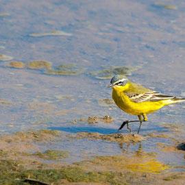 Schafstelze  |  Western Yellow Wagtail      (Motacilla flava)