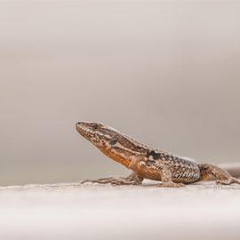 Mauereidechse  | Wall Lizard  (Podarcis muralis)