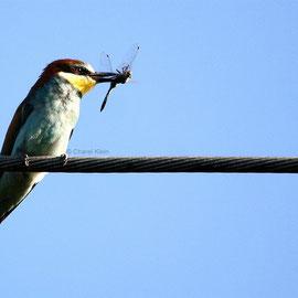 Bienenfresser / European Bee-eater (Merops apiaster) -- Camargue / France
