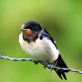 Rauchschwalbe | Barn Swallow       (Hirundo rustica)