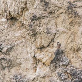 Wanderfalke  |  Peregrine Falcon (Falco peregrinus)  -- Freiburg / Germany