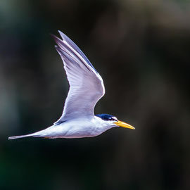 Yellow-billed Tern (Sternula superciliaris) -- Peru / Centro De Rescate Taricaya