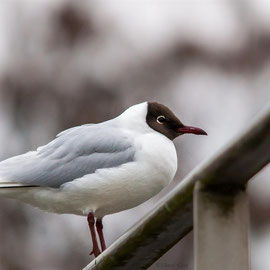 Lachmöwe  |  black-headed gull (Chroicocephalus ridibundus)