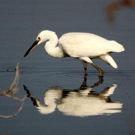 Seidenreiher / Little Egret  (Egretta garzetta)