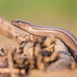 Blindschleiche  |  Slow worm    (Anguis fragilis)