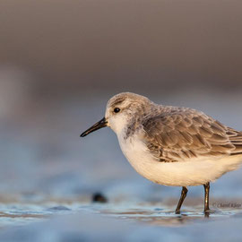 Sanderling (Calidris alba) -- Zealand / Nederland